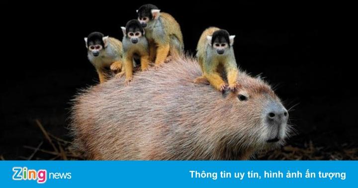 Loài chuột khổng lồ nổi tiếng thân thiện
