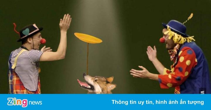 Video Vuông: Tại Sao Sư Tử, Hổ Bị Bắt Diễn Xiếc, Còn Sói Lại Không? -  Chuyên Trang - Zing.Vn