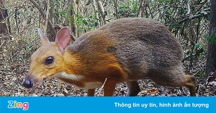 Những đặc điểm của cheo cheo - loài vật vừa được tìm thấy ở Việt Nam