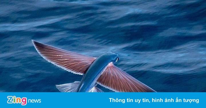 Loài cá ở Quảng Nam biết bay trên mặt nước