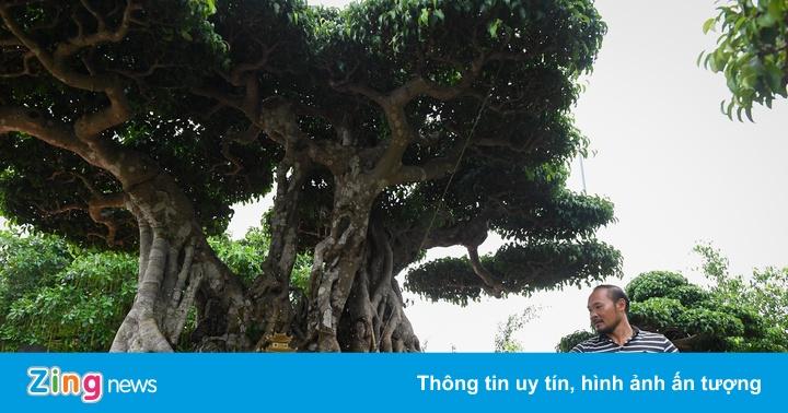 Cây sanh cổ giá hàng chục tỷ ở Hà Nội