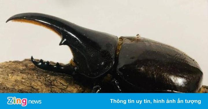 Dân sưu tầm Nhật Bản tranh mua bọ hung giá hơn 27 triệu đồng