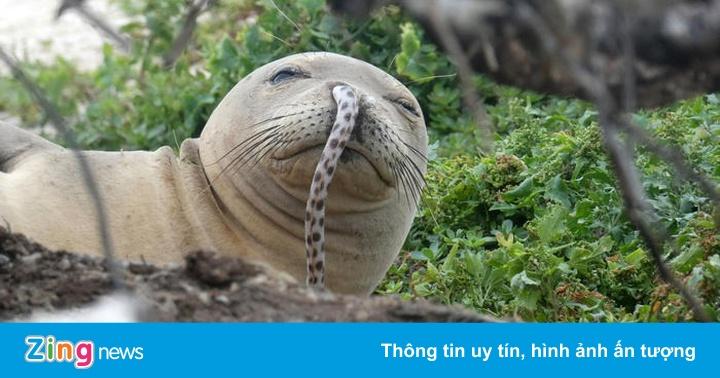 Bí ẩn hàng loạt hải cẩu thầy tu Hawaii bị mắc lươn biển vào mũi  - Thế giới