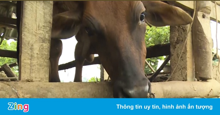 Nhặt cam cho bò ăn vì rụng nhiều lại rớt giá