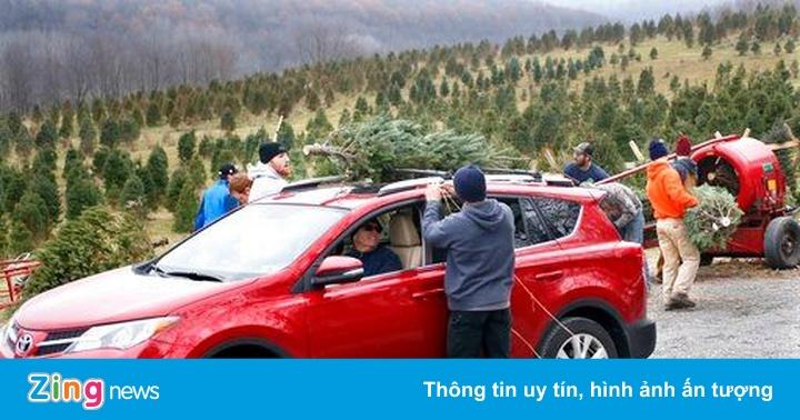 Chở cây thông Noel không đúng cách, tài xế bị phạt nặng, thu bằng vĩnh viễn và có thể phải ra tòa