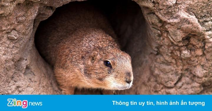 Nga cấm săn sóc marmot ở biên giới TQ sau ca cái chết đen tại Nội Mông