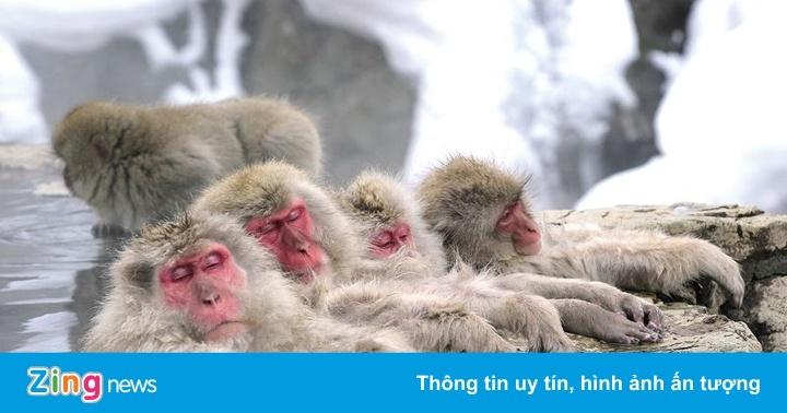 Bầy khỉ tuyết vô tư tắm suối nước nóng vào mùa đông ở Nhật Bản